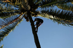 Climbing a 80-foot coconut tree. Barefoot.